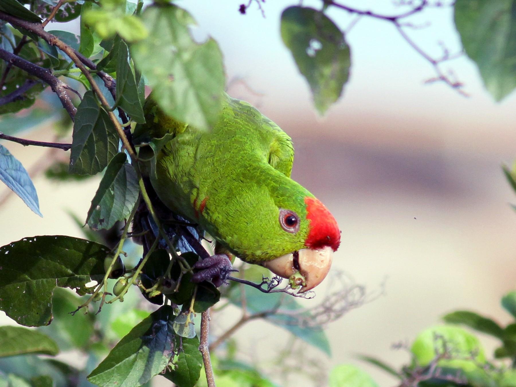 Scarlet-fronted Parakeet - Jay McGowan