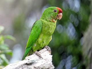 - Scarlet-fronted Parakeet