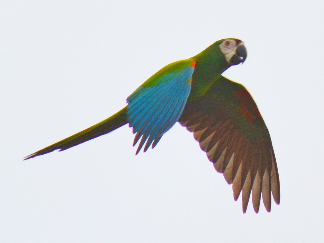 Chestnut-fronted Macaw - Valerie Bourdeau