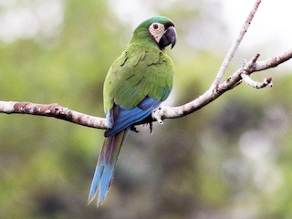 - Chestnut-fronted Macaw