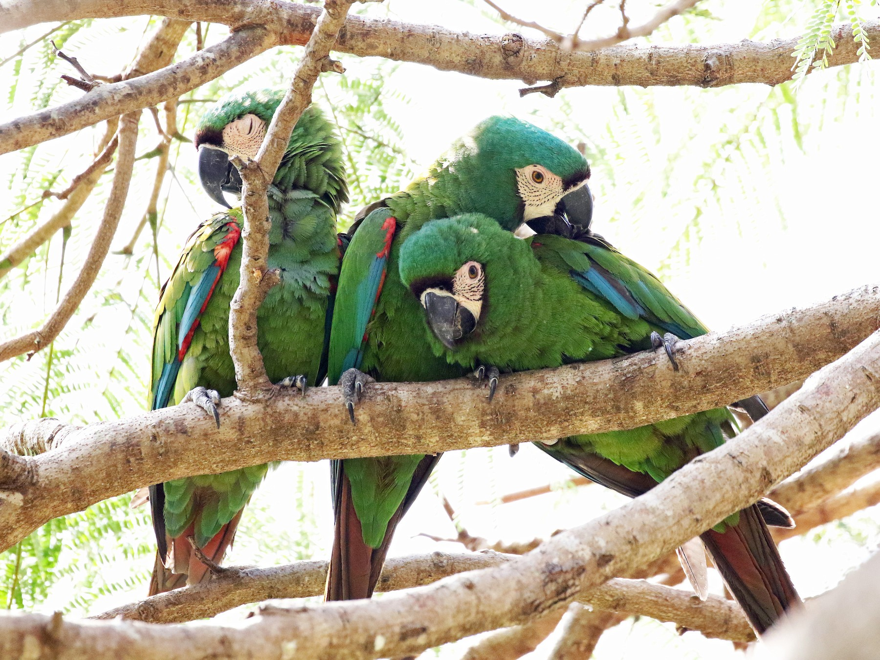 Chestnut-fronted Macaw - David McQuade