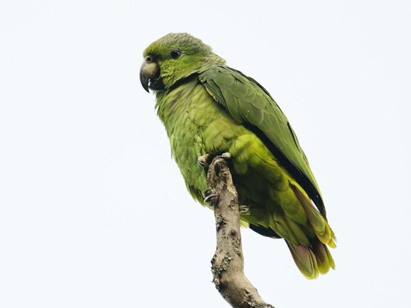 Scaly-naped Parrot - Joshua Vandermeulen