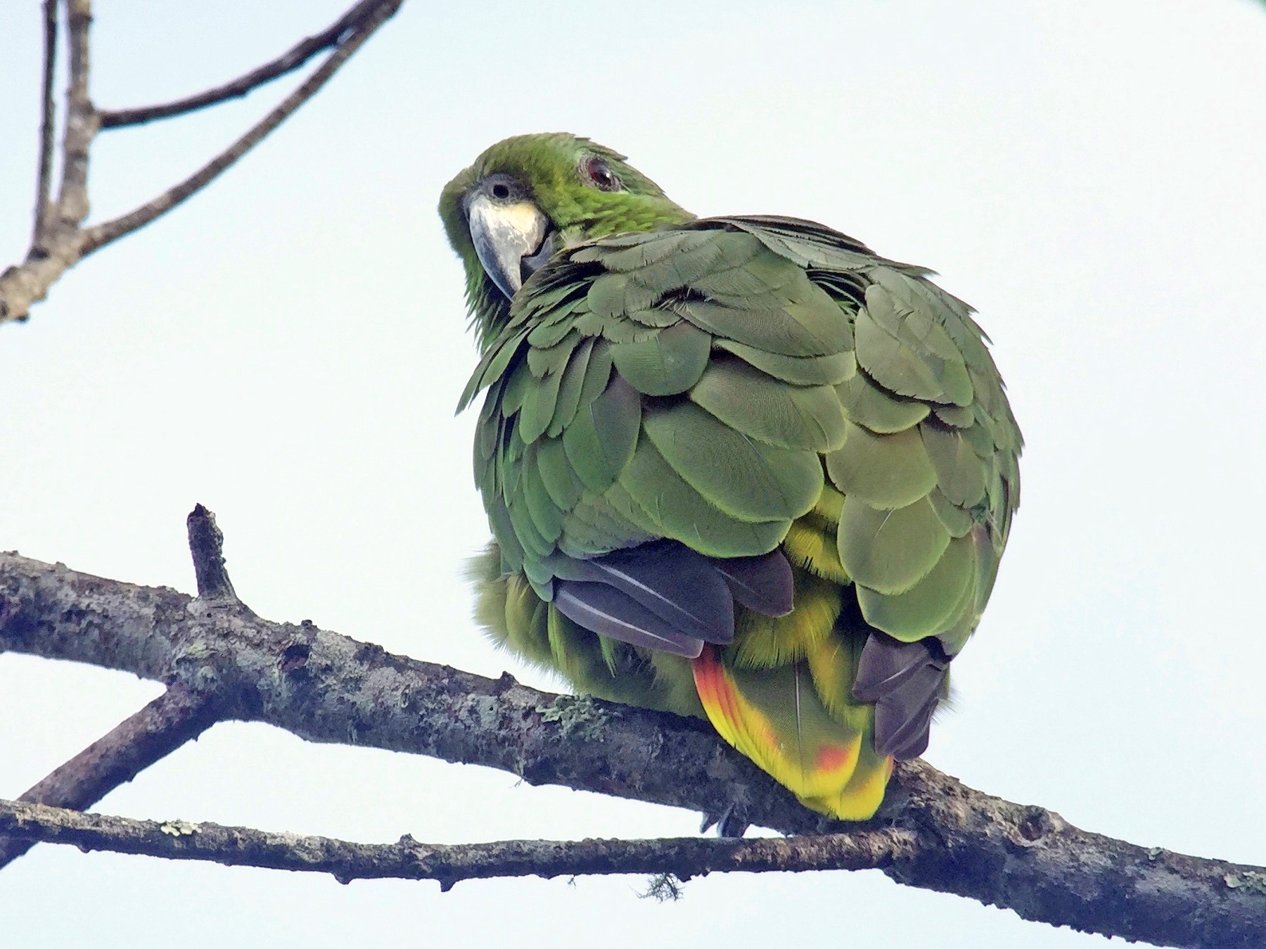 Scaly-naped Parrot - Cory Gregory