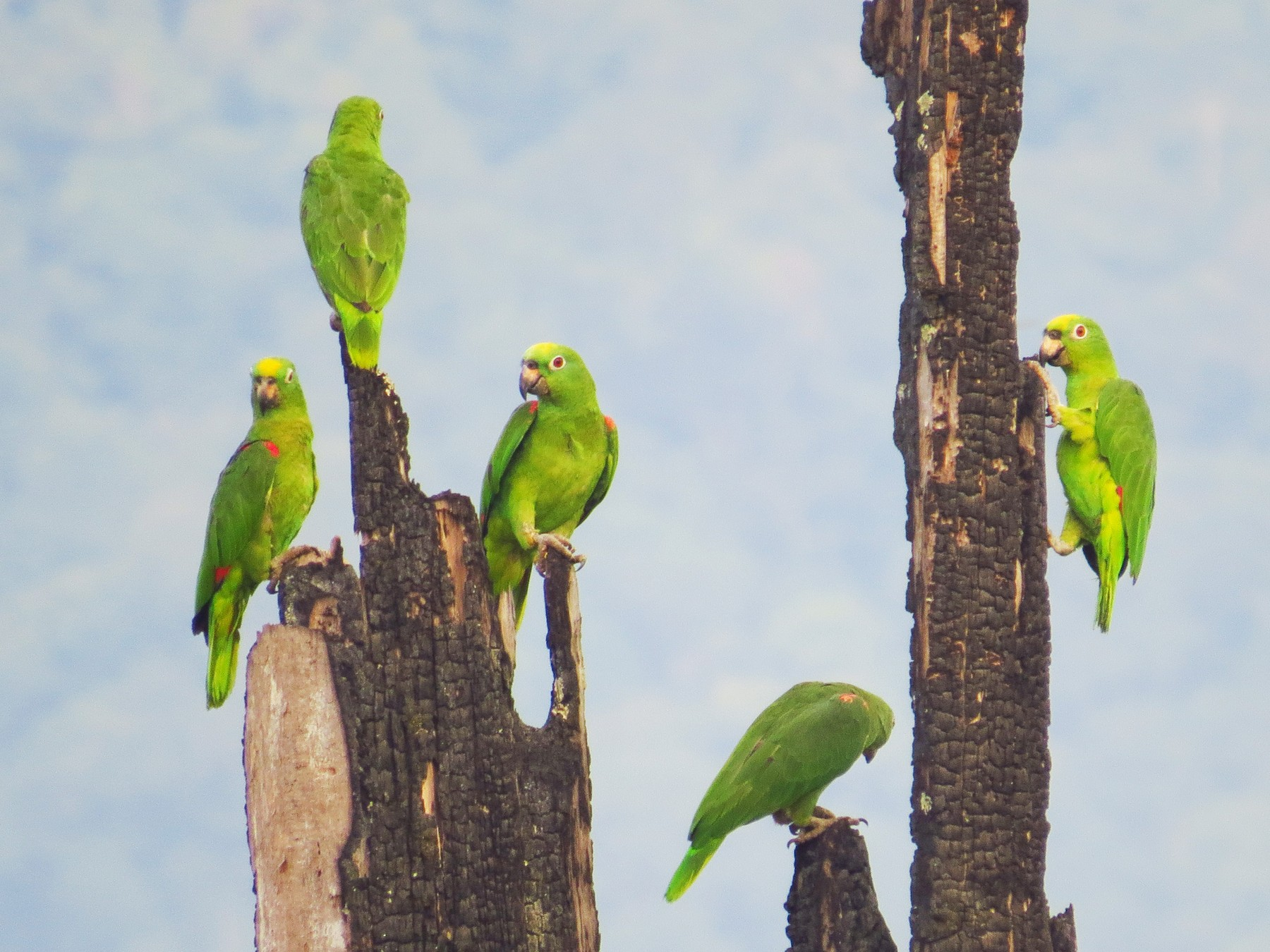 Yellow-crowned Parrot - Jorge Muñoz García   CAQUETA BIRDING