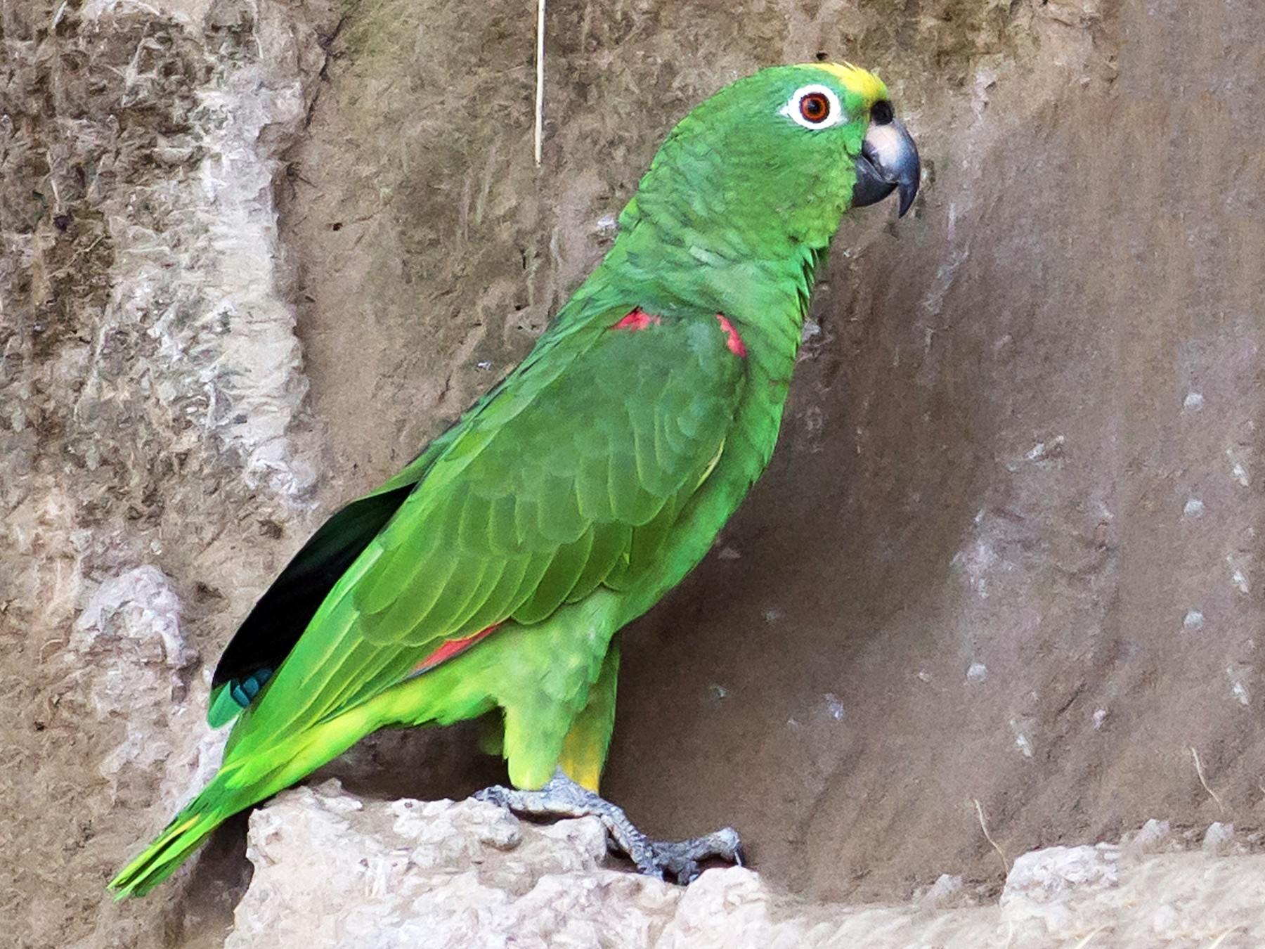 Yellow-crowned Parrot - Naseem Reza