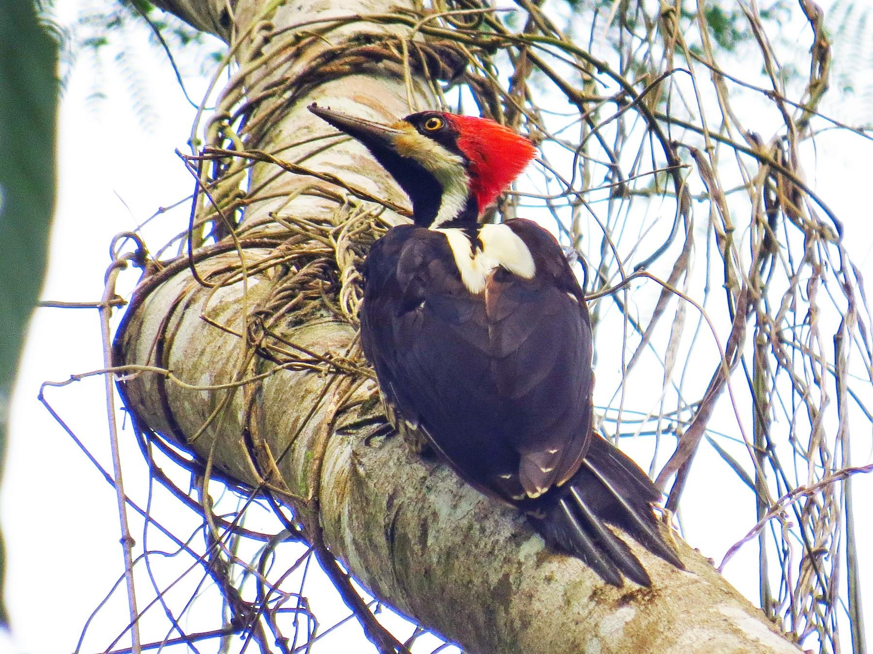 Crimson-crested Woodpecker - Jorge Muñoz García   CAQUETA BIRDING