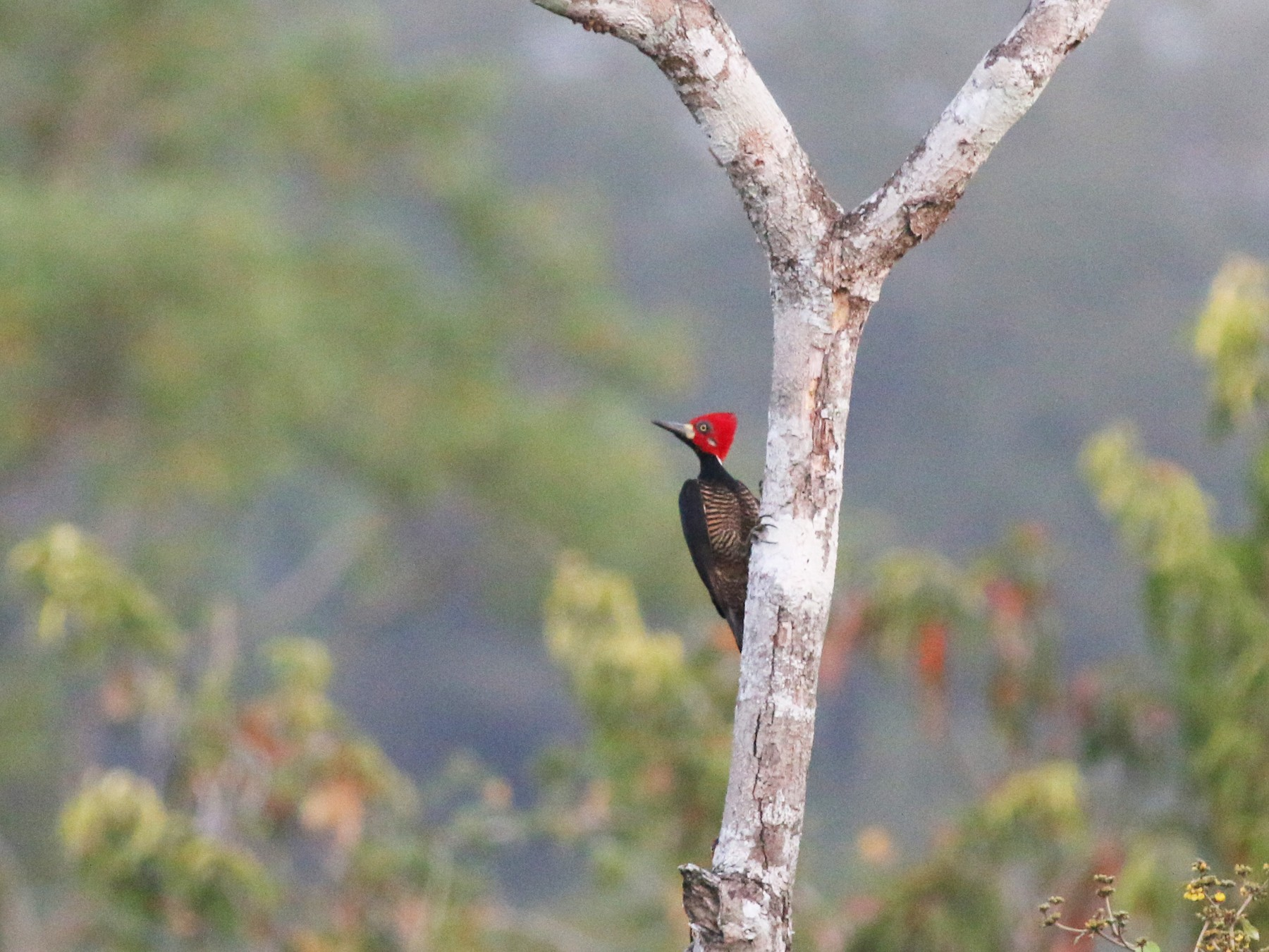 Crimson-crested Woodpecker - Oliver Burton