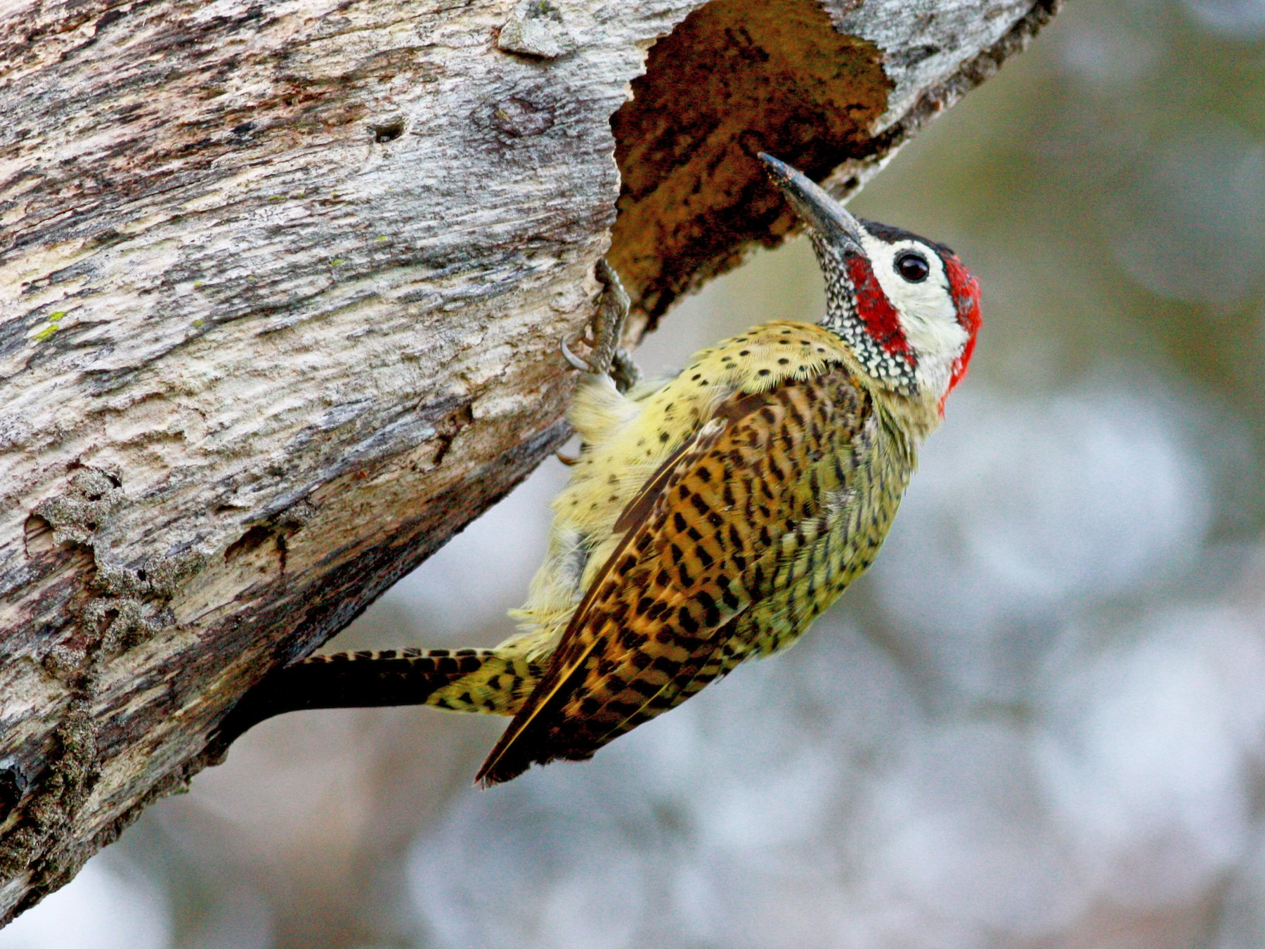 Spot-breasted Woodpecker - Jay McGowan