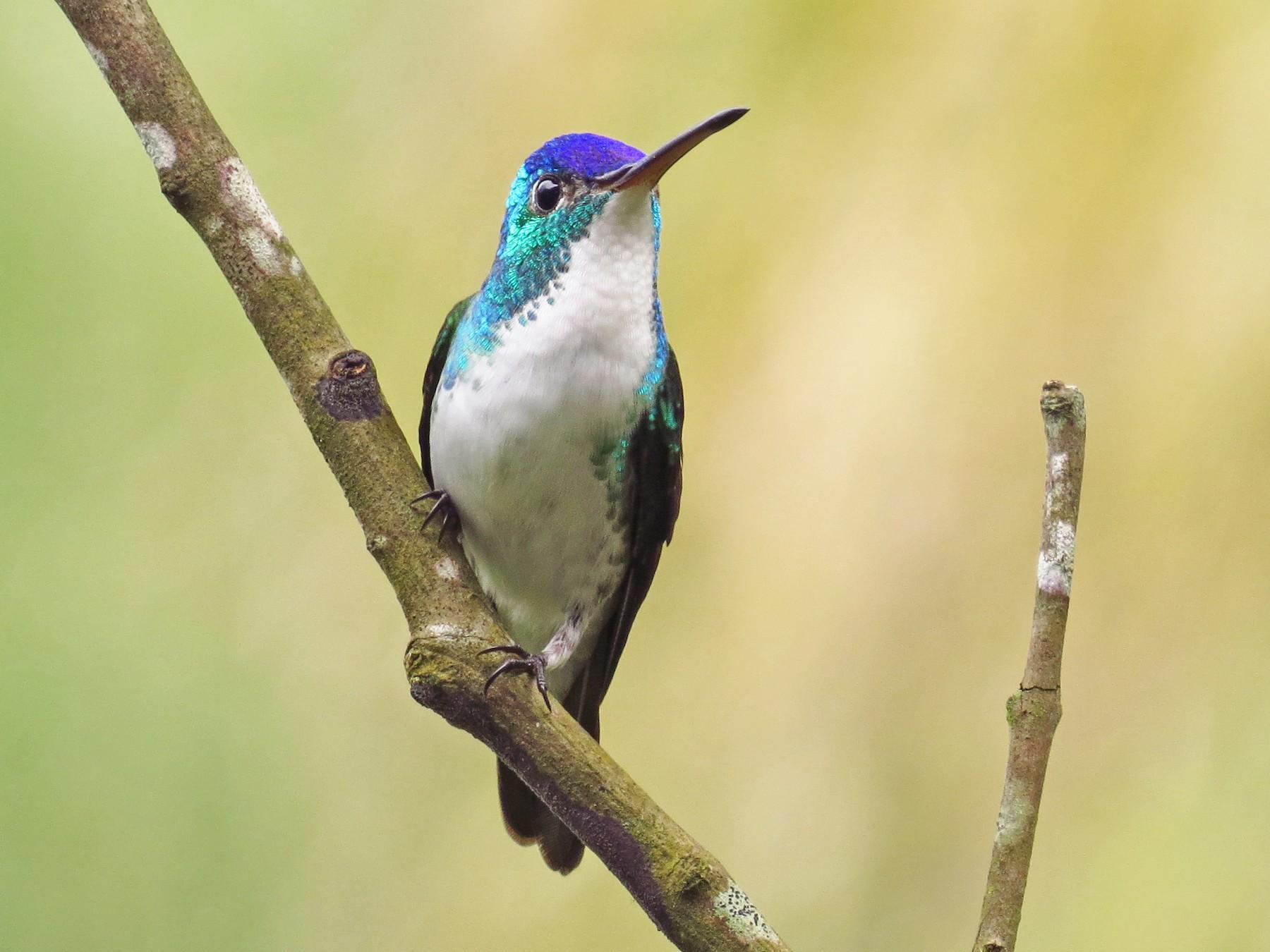 Andean Emerald - Jorge Muñoz García   CAQUETA BIRDING