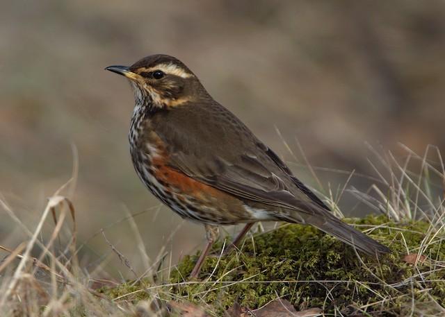 Redwing (Icelandic)