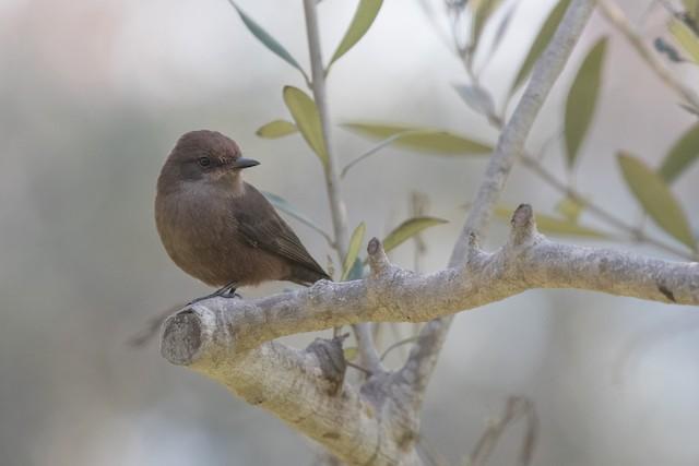 Vermilion Flycatcher (obscurus Group)