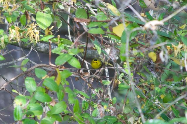 Wilson's Warbler (chryseola)