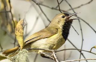 - Plain-backed Sunbird