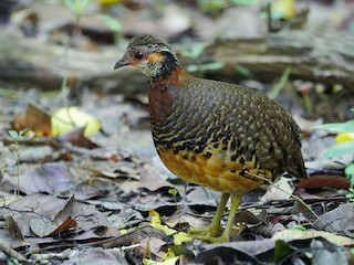 - Chestnut-necklaced Partridge