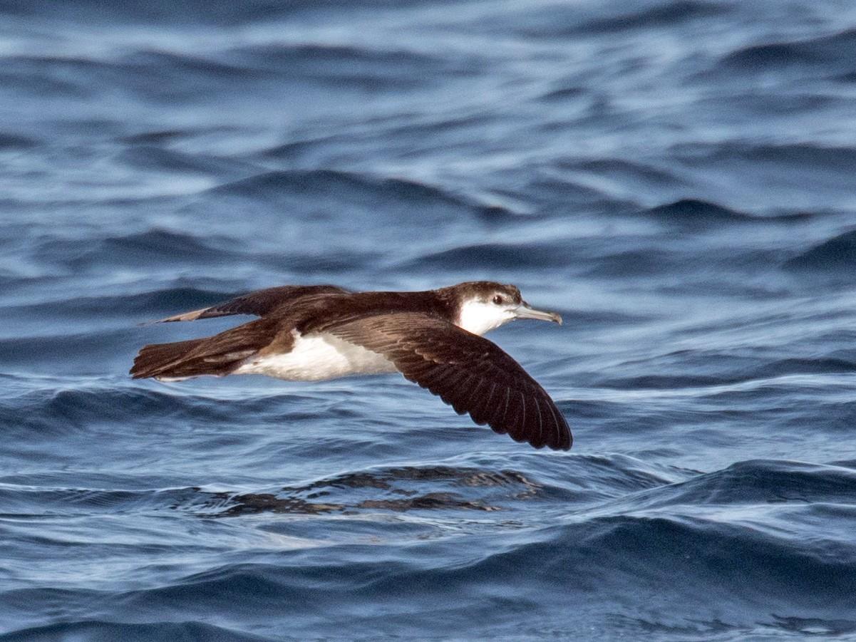 Audubon's Shearwater - Derek Rogers