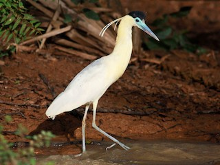 - Capped Heron