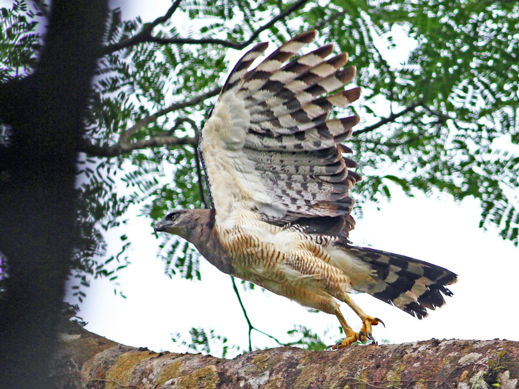 Crested Eagle - Andrew Spencer