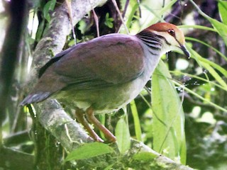 - Russet-crowned Quail-Dove