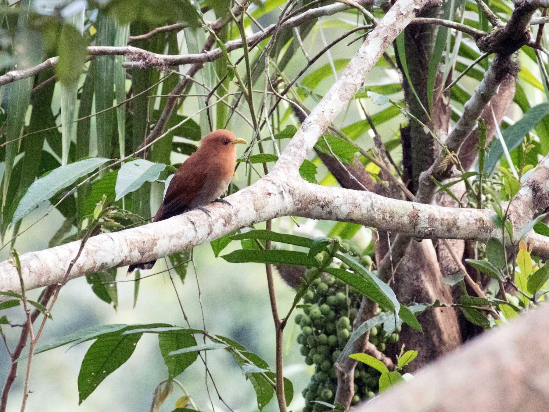 Little Cuckoo - Braden Collard