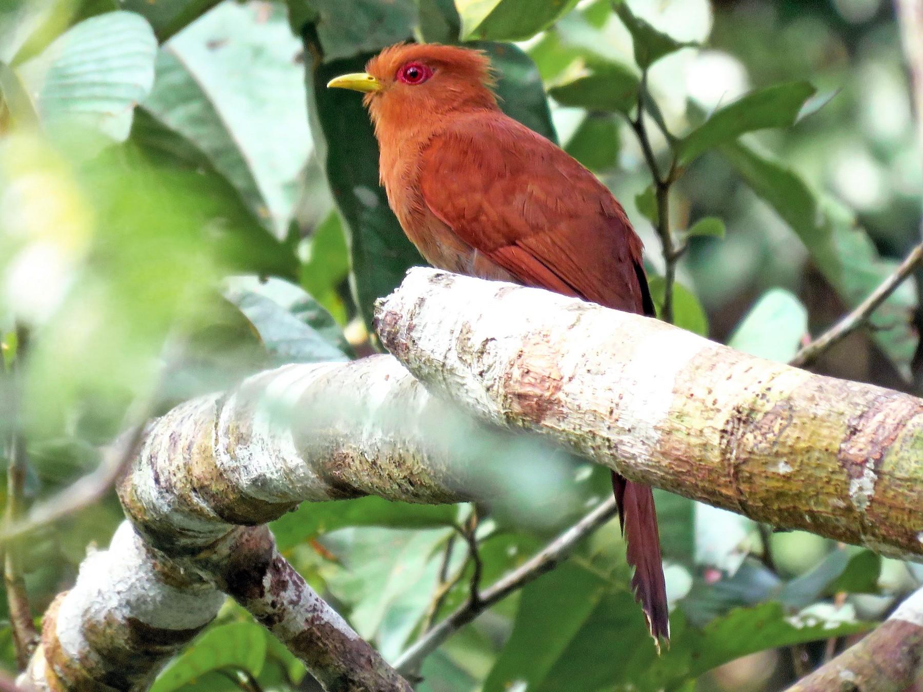 Little Cuckoo - Fernando Angulo - CORBIDI