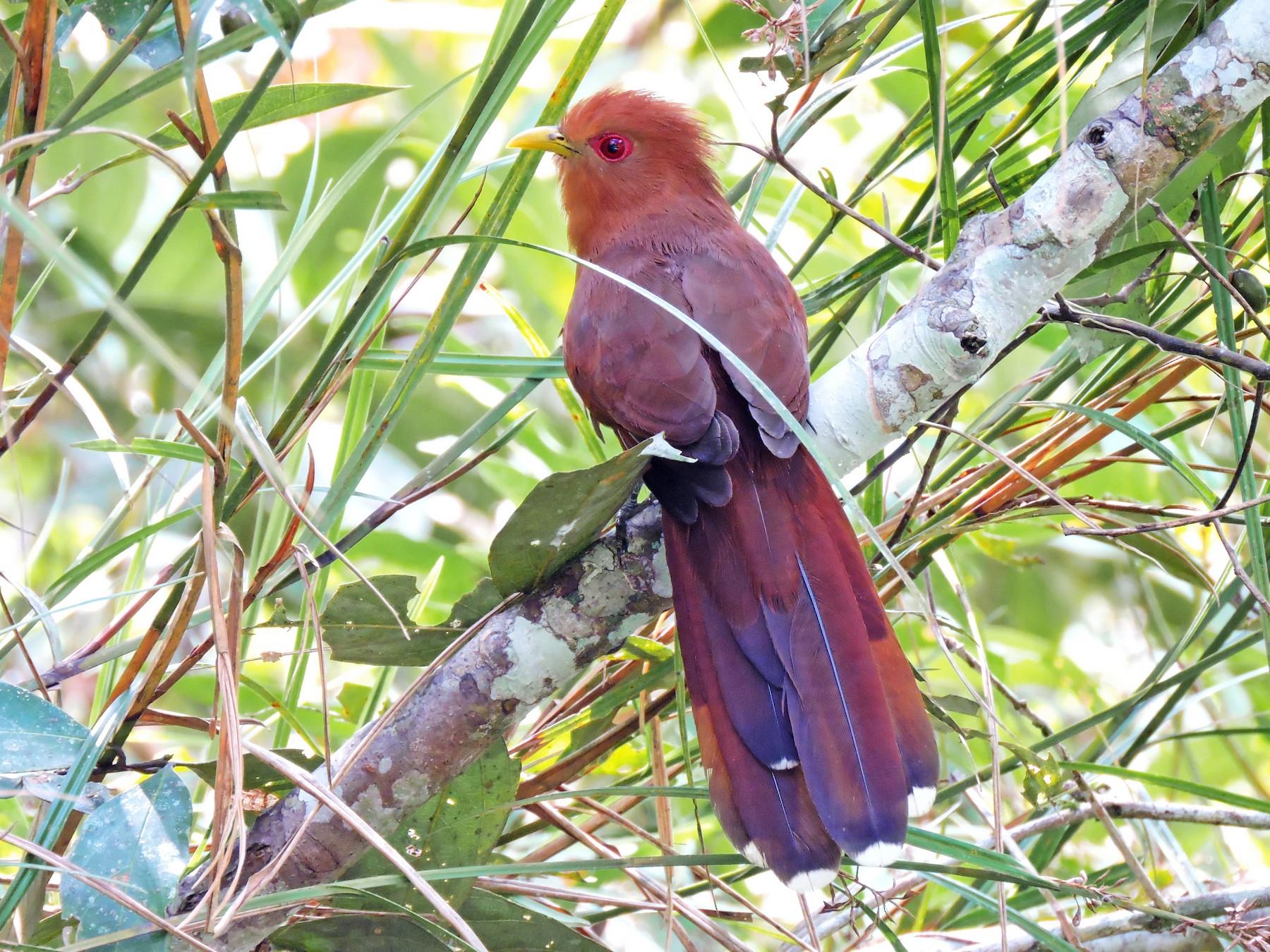 Little Cuckoo - Edwin Munera