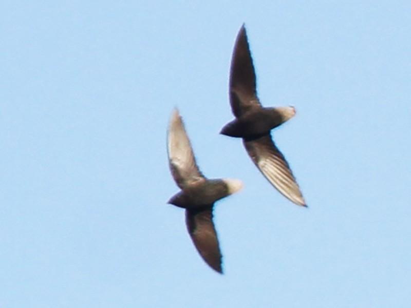 Short-tailed Swift - Thompson Ian