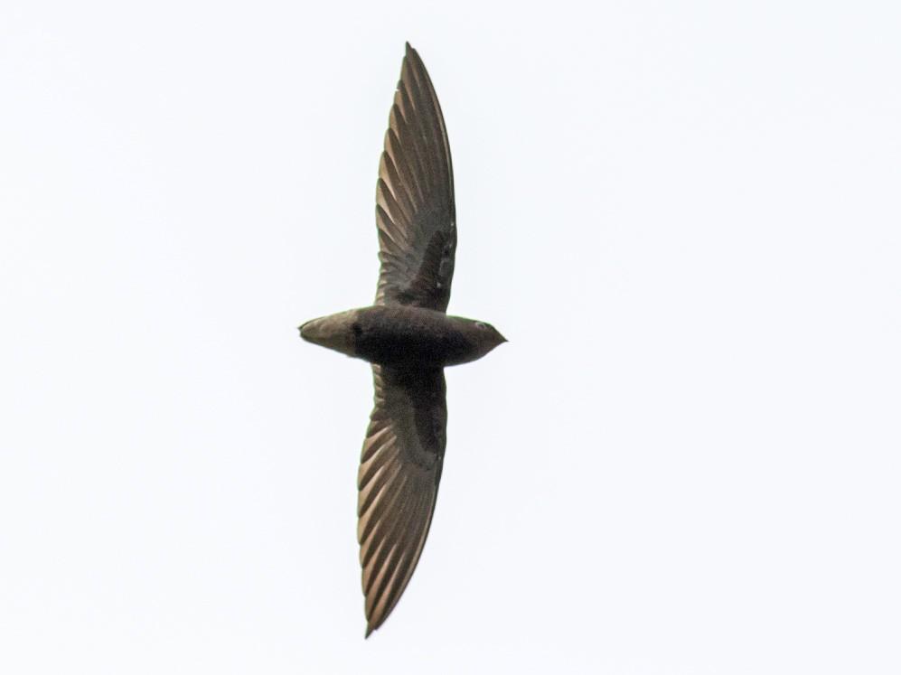 Short-tailed Swift - Tom Johnson