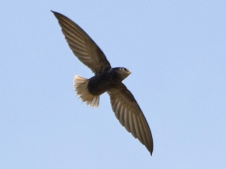 - Short-tailed Swift