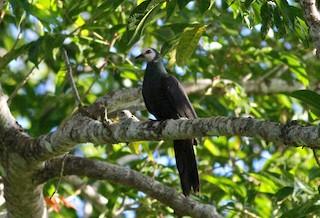 - White-faced Cuckoo-Dove