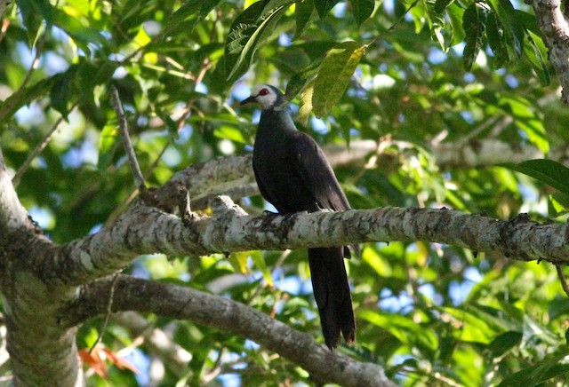 White-faced Cuckoo-Dove