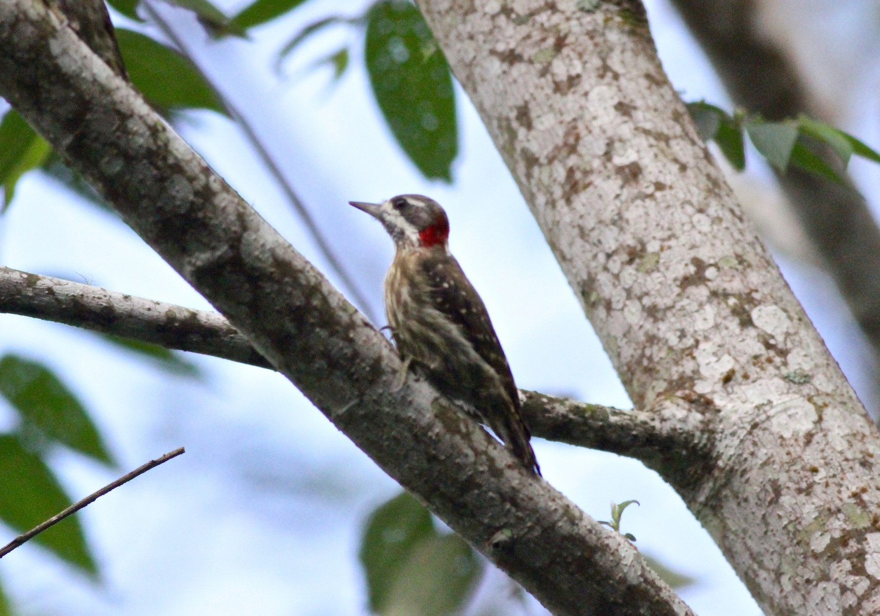 Sulawesi Woodpecker - Anthony Collerton