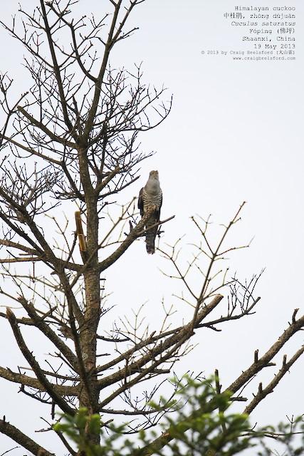 Himalayan Cuckoo