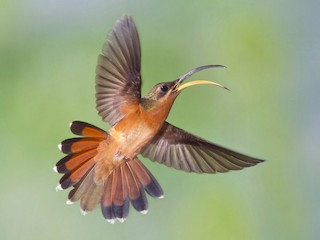 - Rufous-breasted Hermit