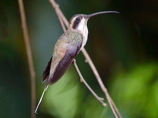- Pale-bellied Hermit