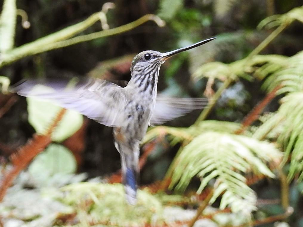Tooth-billed Hummingbird - Julio Delgado www.piculetbirding.com