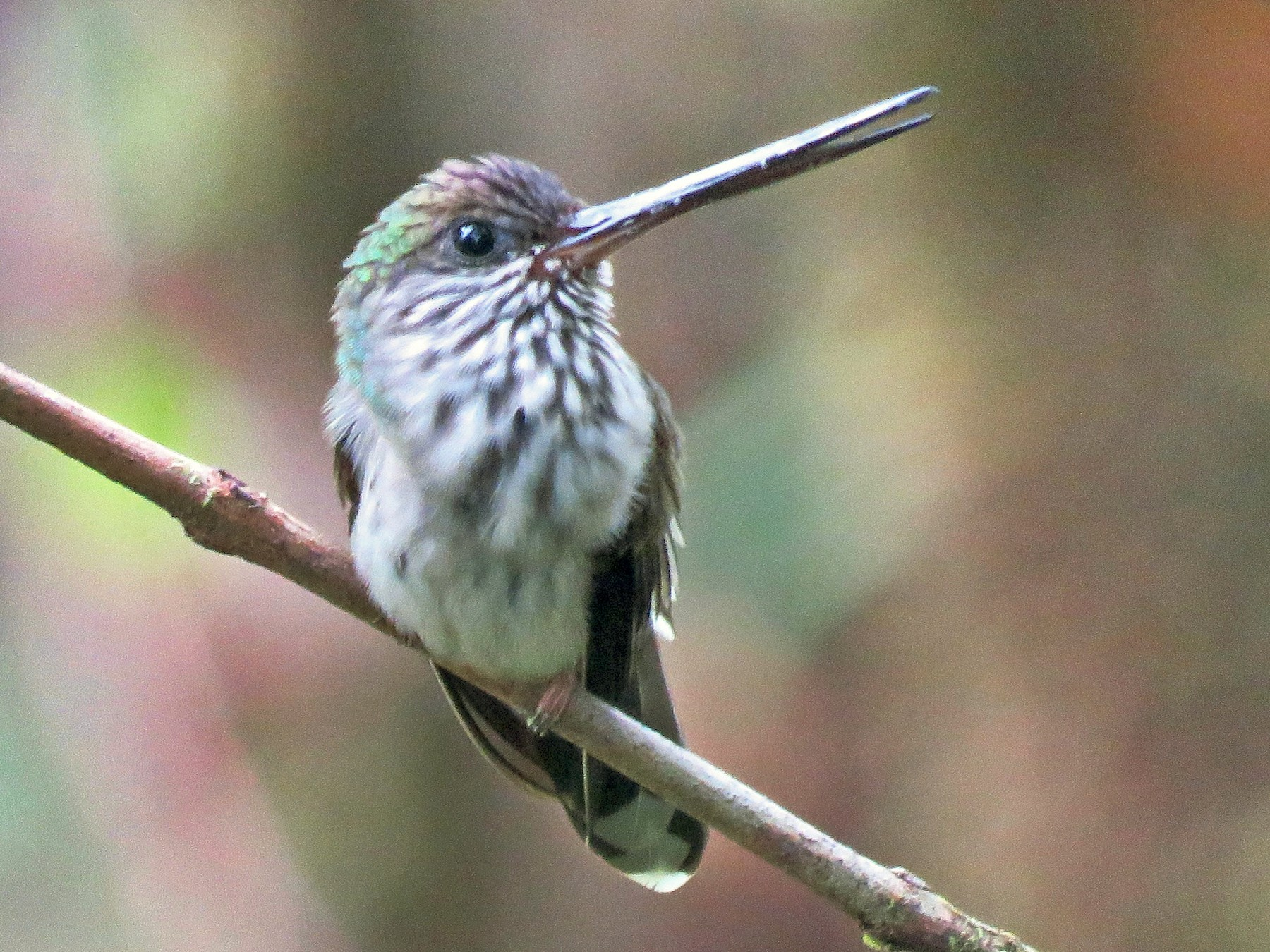Tooth-billed Hummingbird - Timothy Forrester