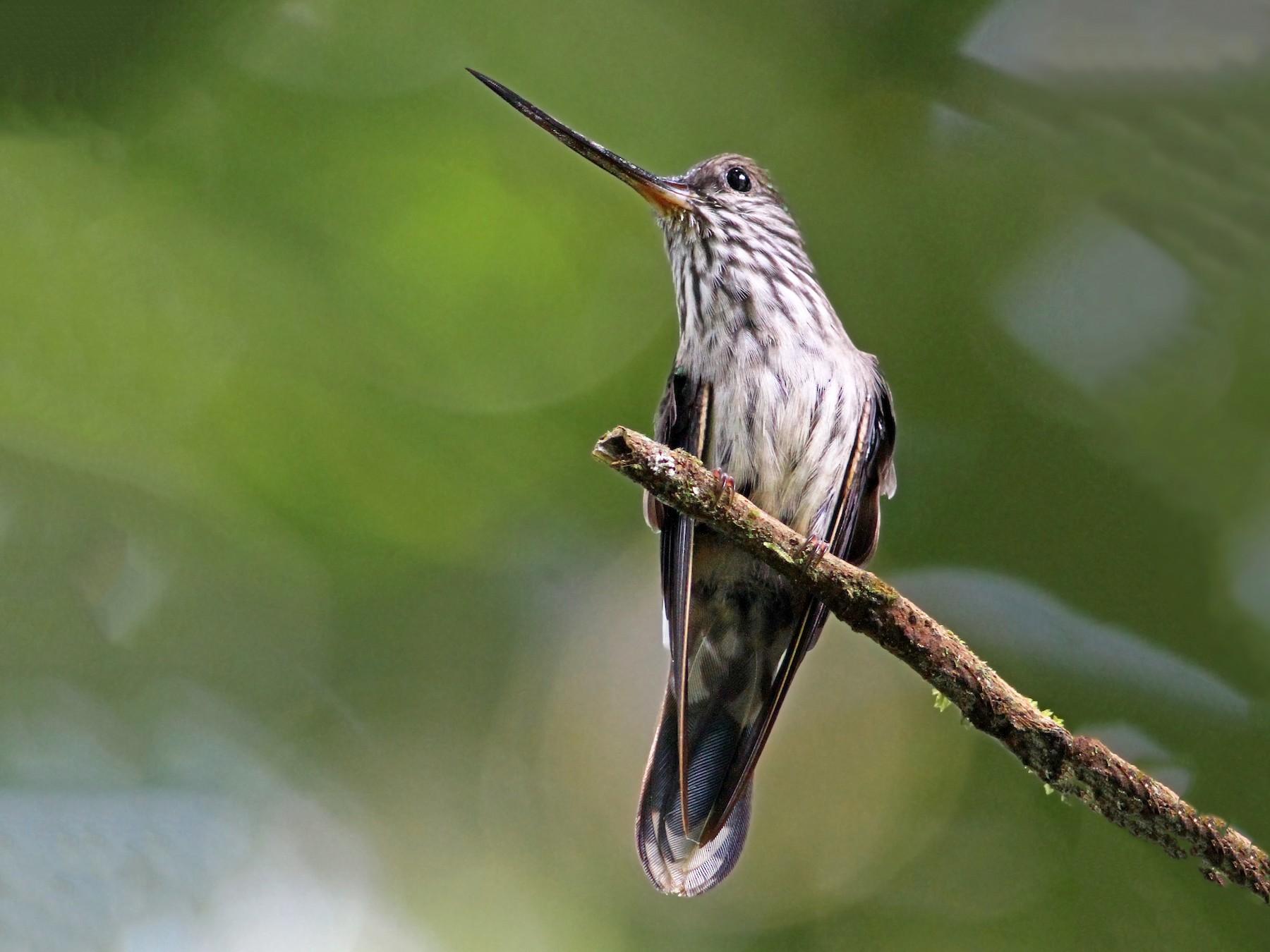 Tooth-billed Hummingbird - Andrew Spencer