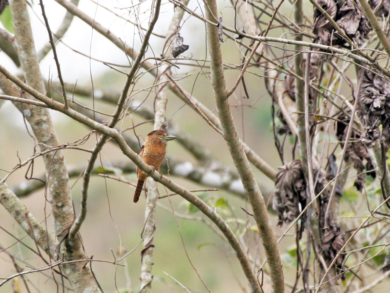 Barred Puffbird - Edward  Brinkley
