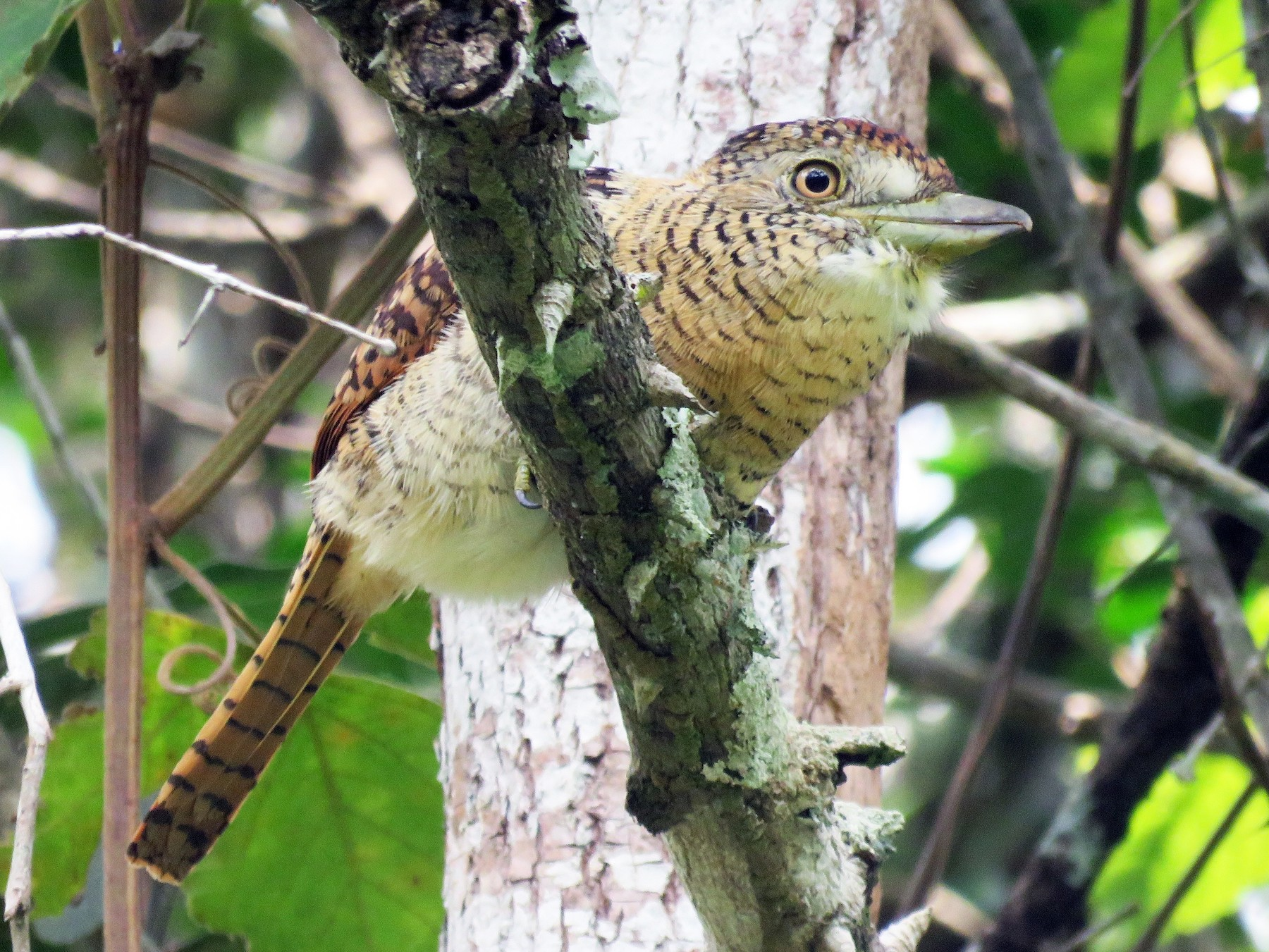 Barred Puffbird - Timothy Forrester