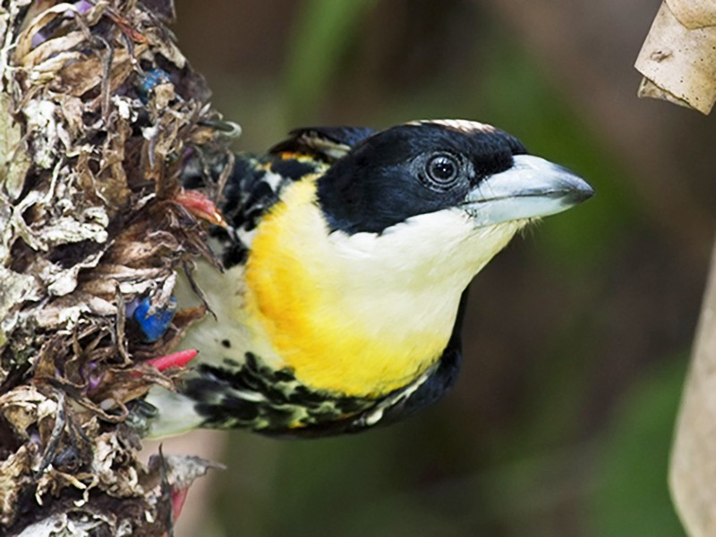 Spot-crowned Barbet - Zak Pohlen