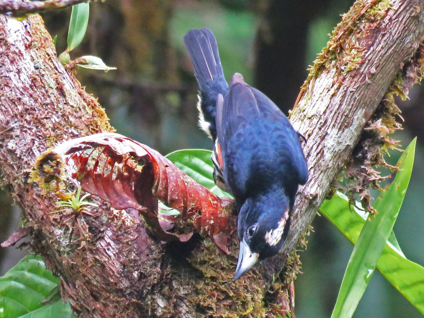 Spot-crowned Barbet - Timothy Forrester