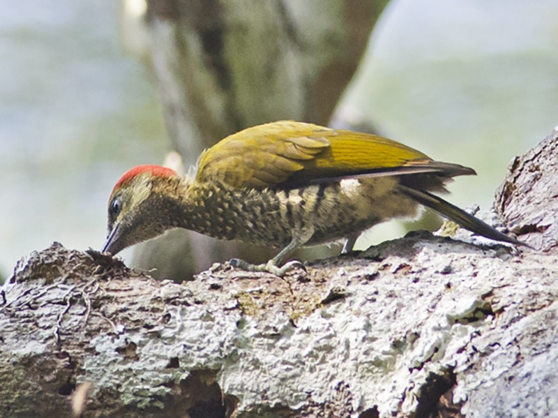 Stripe-cheeked Woodpecker - Joshua Vandermeulen