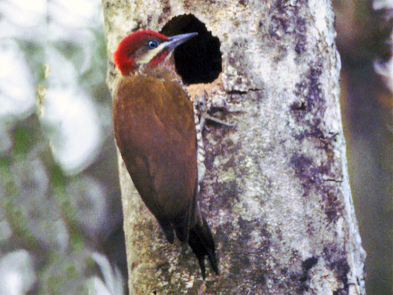 Stripe-cheeked Woodpecker - Karl Overman