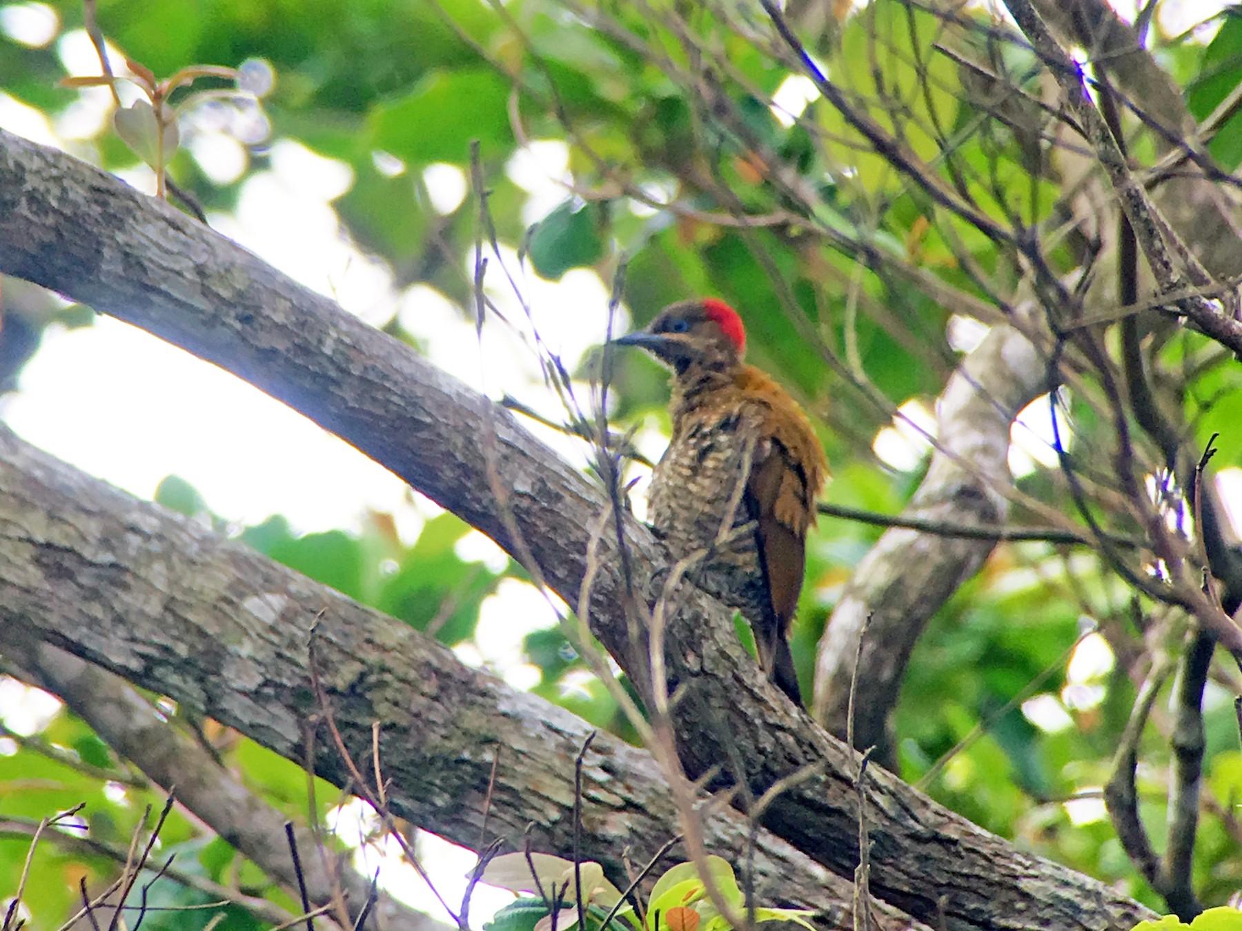 Stripe-cheeked Woodpecker - Domiciano Alveo - www.birdingtripspanama.com