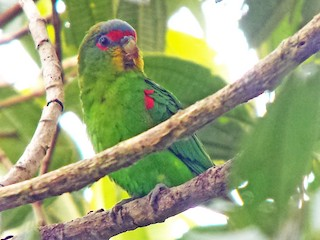 - Blue-fronted Parrotlet