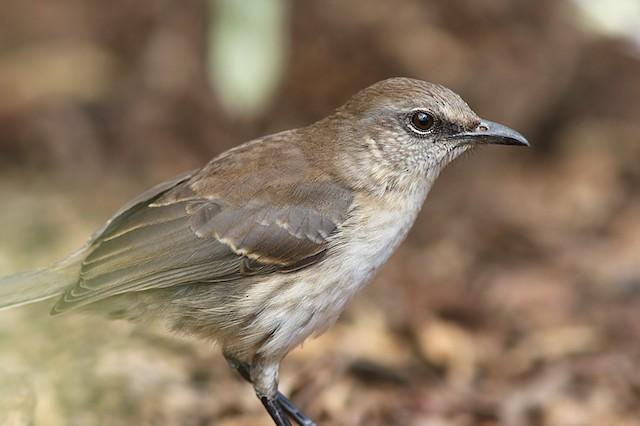 Socorro Mockingbird