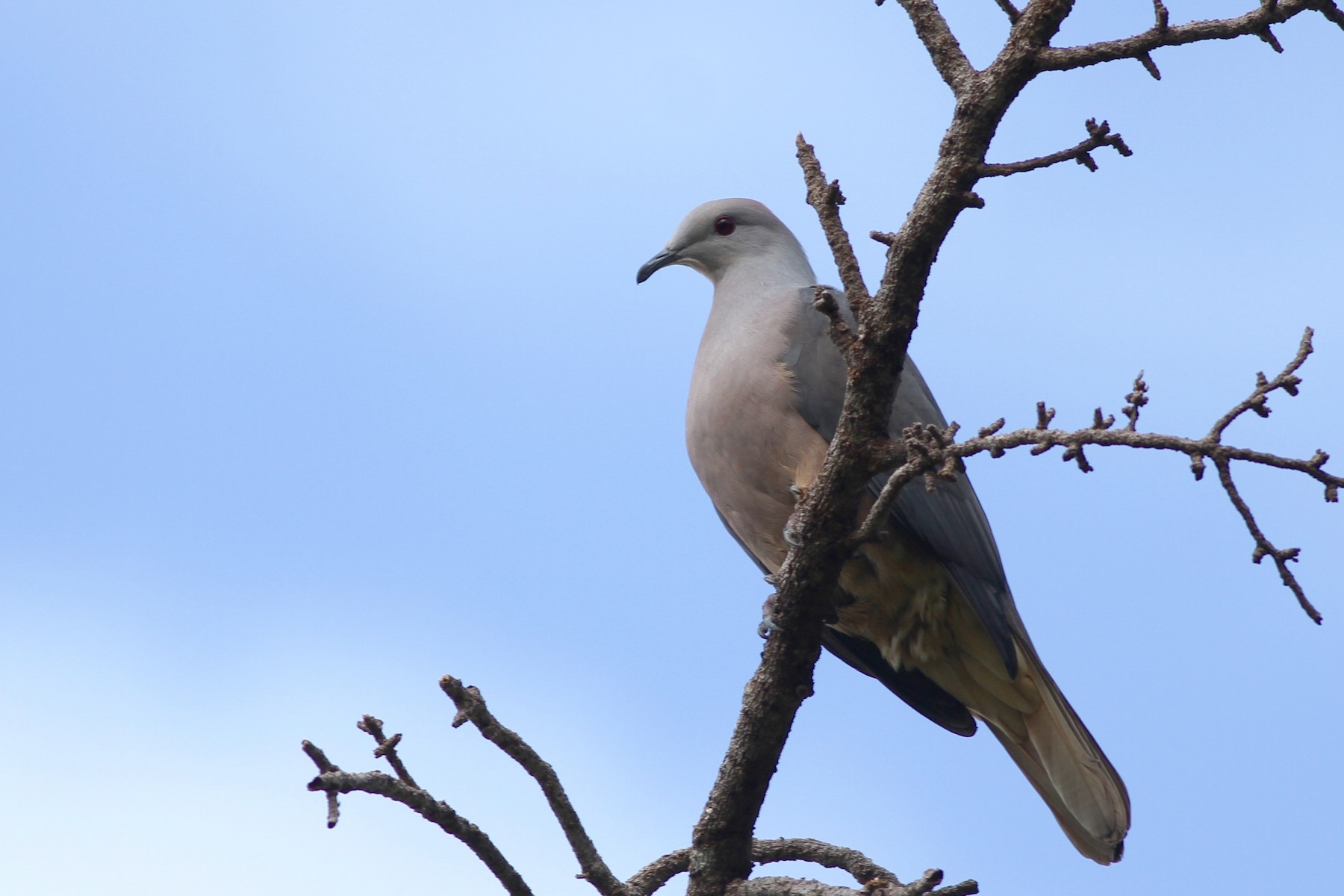 Peale's Imperial-Pigeon - Chris Wiley