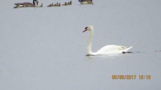 Mute Swan, ML57452951