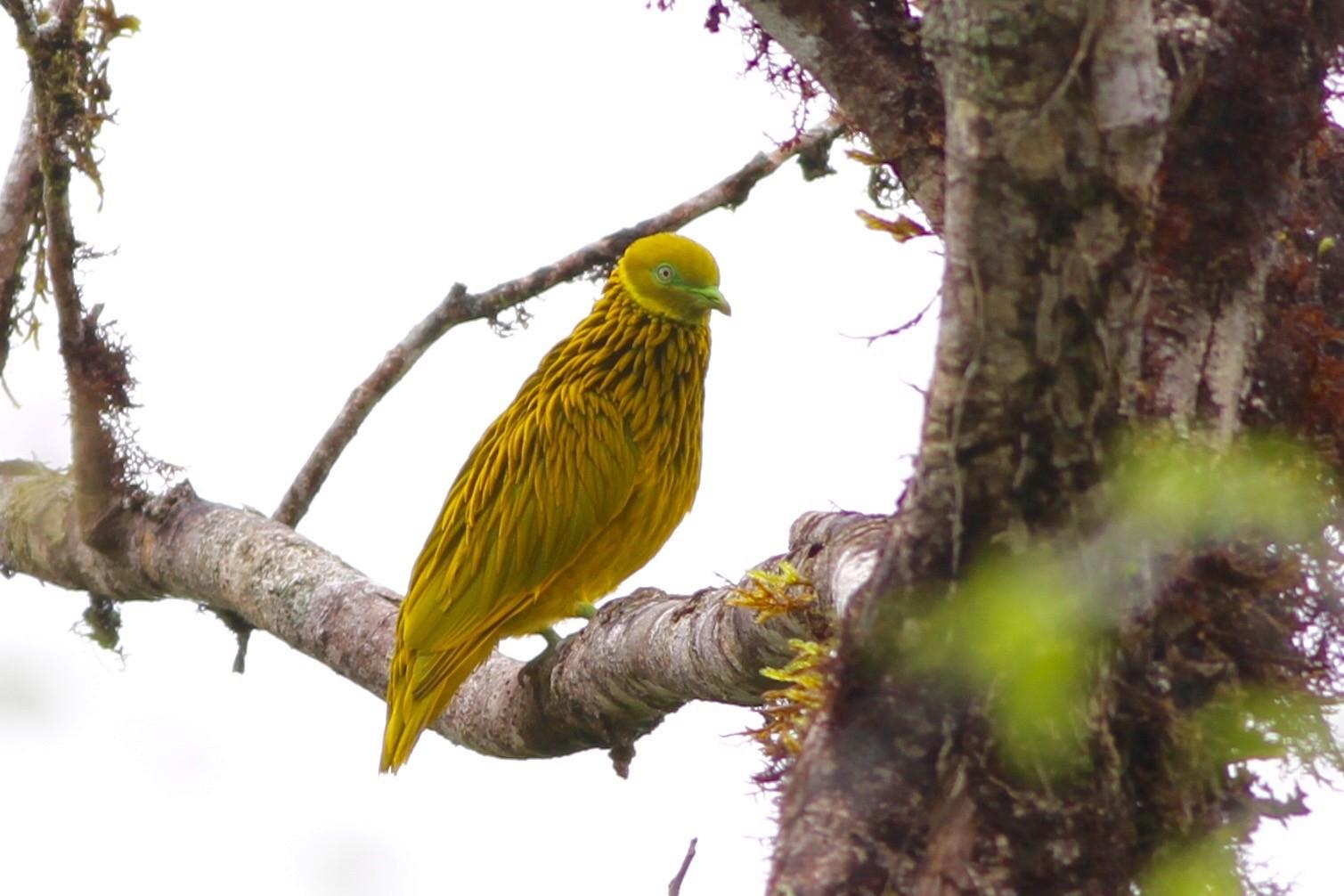 Golden Dove - Chris Wiley