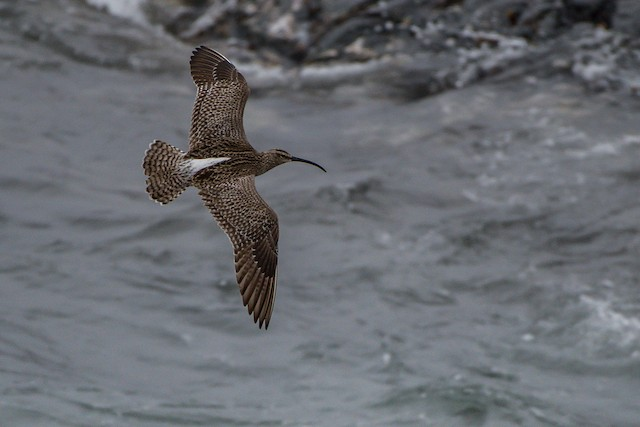 Whimbrel (European)